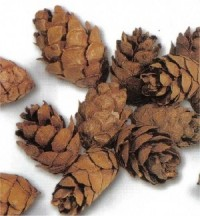Eastern Hemlock Miniature Cones - Product Image