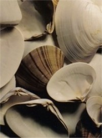 Small Striped and Other White Clam Shells - Product Image