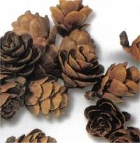 Tamarack Miniature Cones - Product Image