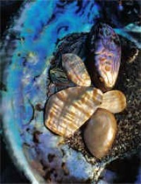 Polished Abalone Shards - Product Image