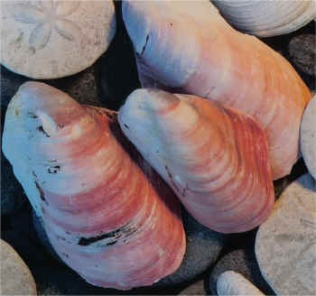 Pink Mussel - Product Image