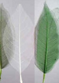 "Skeletal Leaves 4"" - Product Image"