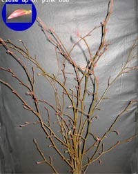 Alder Branches - Product Image