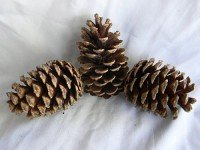 Loblolly Pine Natural - Product Image