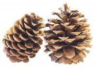 Ponderosa Pine (FOB Wisconsin)