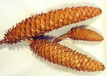 Immature Sugar Pines - Product Image