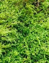 Shag Moss (Sheet Moss) - Product Image