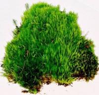 Curly Mood Moss
