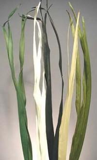 Long Palm - Product Image