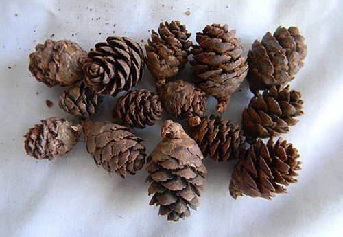 Black Spruce Natural - Product Image