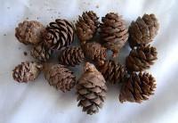 Black Spruce Natural