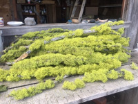 Chartreuse Lichen Branches - Product Image
