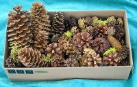 Pine Cone Sample Box - Product Image