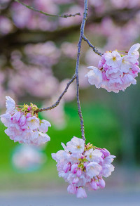 Pink Cherry Blossom Branches