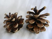 Scotch Pine - Product Image