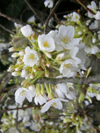 White Cherry Blossom Branches - Product Image